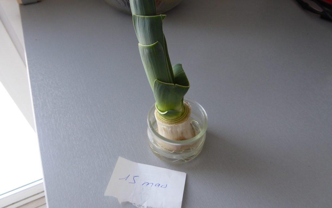 Comment faire repousser un poireaux.