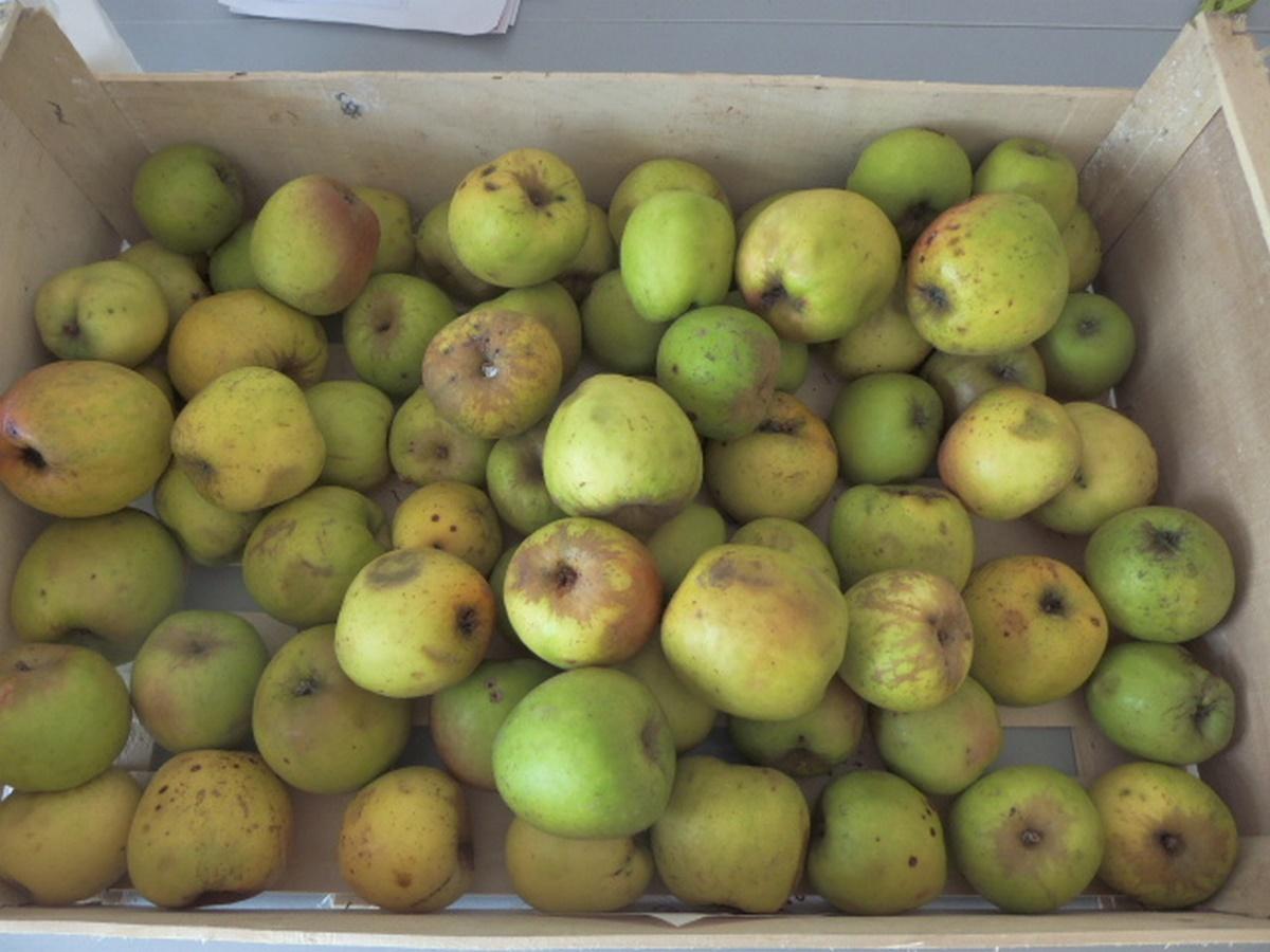 Recette de la gel e de pommes avec des trognons et pelures - Gelee de pommes avec extracteur ...