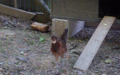 Nous venons d'adopter un petite poule